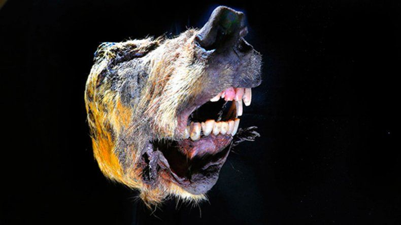 Encontraron la cabeza de un lobo de hace más de 40.000 años