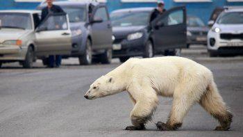 panico por un oso polar suelto en una ciudad rusa