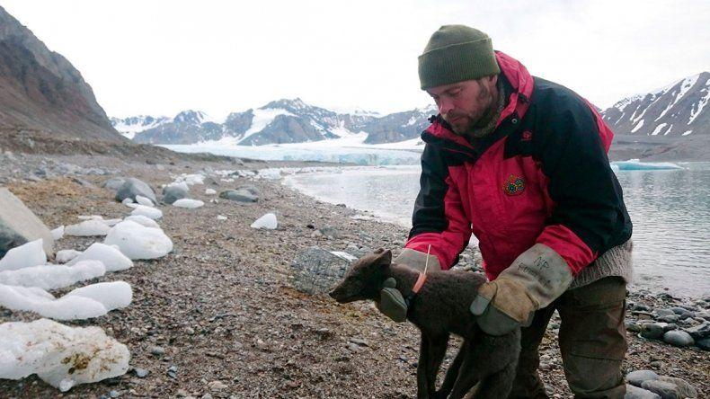 Una zorra ártica viajó de Noruega a Canadá en 76 días