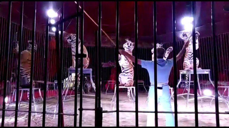 Famoso domador fue asesinado por sus cuatro tigres