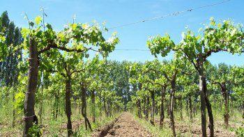 la provincia aumento en un 800% la superficie plantada en vinedos