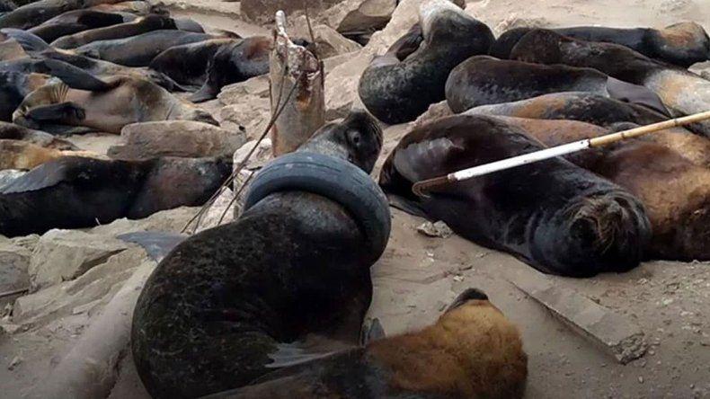 Indignación en Mar del Plata por un lobo marino que tiene un neumático atorado en el cuello
