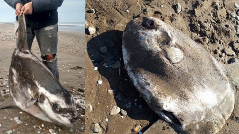 Apareció muerto un enorme pez luna en las playas de Pehuen Co