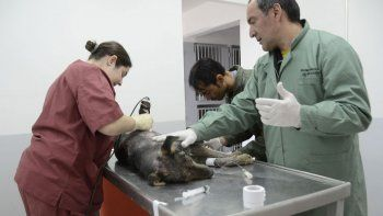 a todo vapor: la muni castro a mas de 6100 mascotas en el semestre