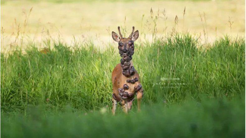 Se viralizó la triste foto de un ciervo lleno de tumores