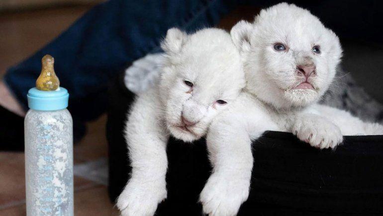 Nacieron dos cachorros de león blanco en un centro de Francia