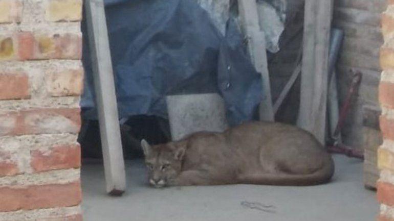 Un puma sorprendió a los vecinos del barrio Hipódromo
