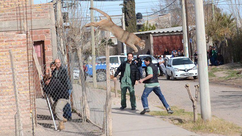 Impactante video: así se escapó el puma que apareció en barrio Hipódromo