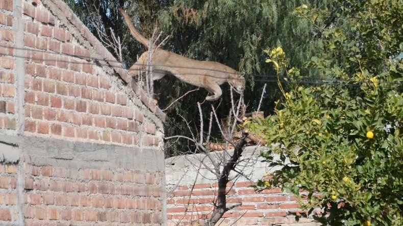 Así liberaron al puma que tuvo en vilo al Barrio Hipódromo