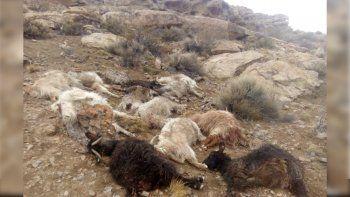 criancero acorralado por pumas y perros en buta ranquil: le mataron mas de 55 chivas