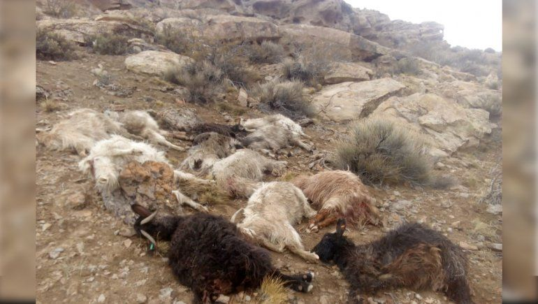Criancero acorralado por pumas y perros: le mataron más de 55 chivas