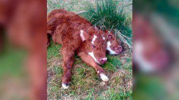impactante: nacio una ternera de dos cabezas en un campo cerca de bahia blanca