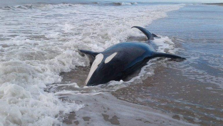 Intentan rescatar a siete orcas que aparecieron varadas en la costa de Mar Chiquita