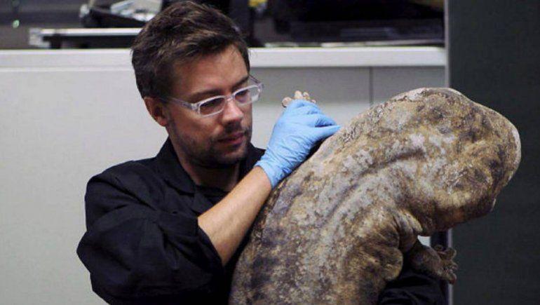 Descubrieron dos especies más de la salamandra gigante china