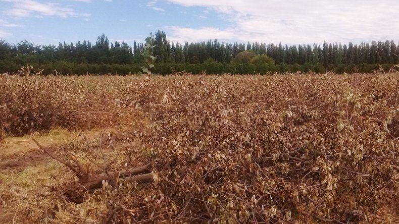 Buscan eliminar los focos infecciosos para la fruticultura