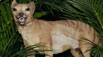 ¿el tigre de tasmania se extinguio o sigue vivo en australia?
