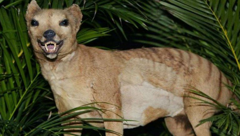 ¿El tigre de Tasmania se extinguió o sigue vivo en Australia?