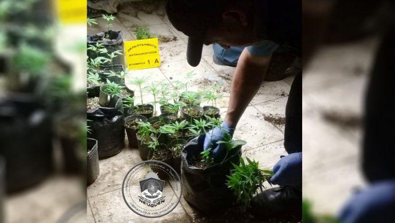 Fueron por una denuncia de violencia y secuestraron 127 plantas de marihuana