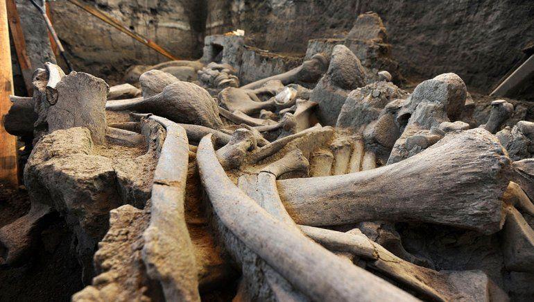 Hallaron fósiles de mamuts atrapados en trampas de cazadores