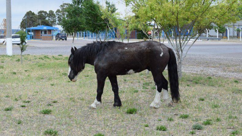 Conocé la historia Petiso, el caballo que pasea junto a otros animales por San Antonio Este