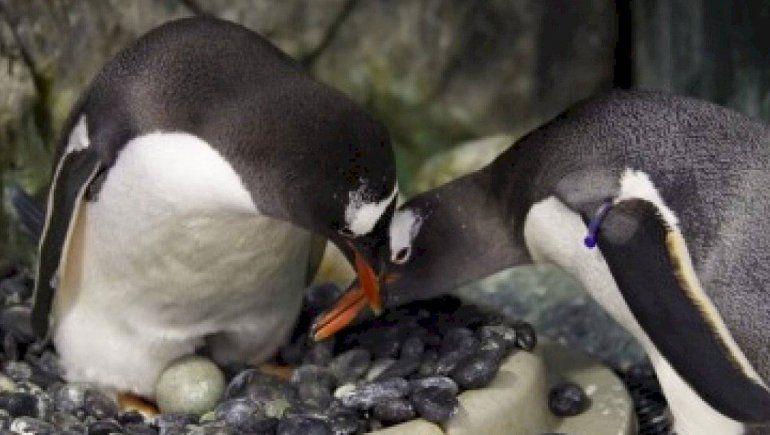 Para ser padres, pareja de pingüinos robó un huevo