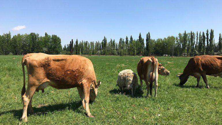 Vacas rionegrinas para elaborar uno de los quesos más rico del país
