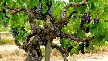 recuperaron vinas viejas  y crearon una marca: vigno
