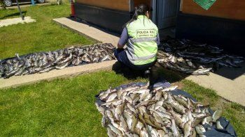 pesca furtiva: trasladaban 500 truchas en forma ilegal