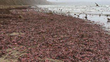 sorpresa en california con muchos ejemplares de pez pene