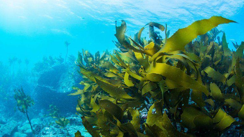 Un alga que llegó al mar argentino sería fertilizante