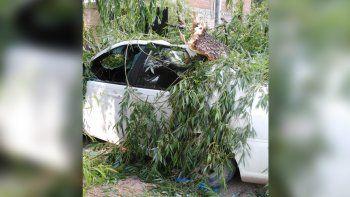 vista alegre: un viejo arbol cayo y aplasto un auto estacionado