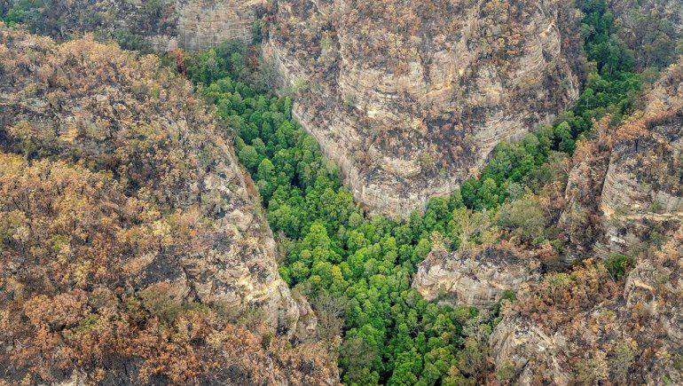 Los árboles dinosaurio de Australia fueron salvados