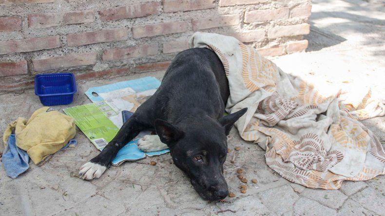 Indignación en Cipolletti: atropelló a un perro y lo abandonó