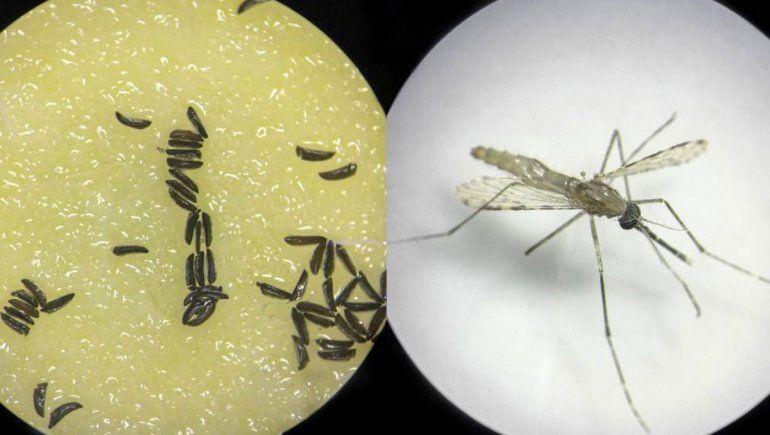 Dengue: crean un mosquito inmune que no pasa la enfermedad