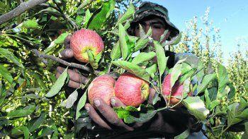 la cosecha de royal gala abre la temporada de manzana en la region