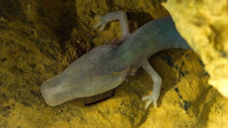 Una salamandra extraña lleva 2570 días sin moverse