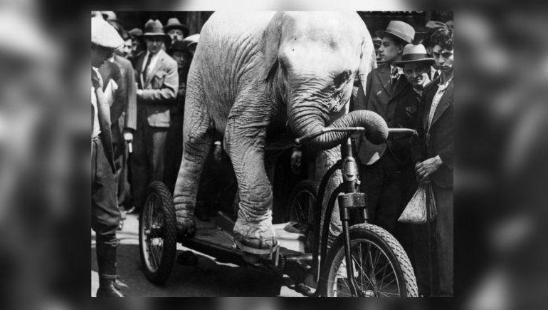 El triste final de Topsy, la elefanta de circo que fue electrocutada en la guerra de las corrientes