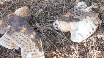 villa la angostura: hay alerta por aves envenenadas