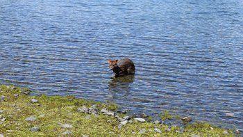 una familia encontro un pudu en el lago lacar