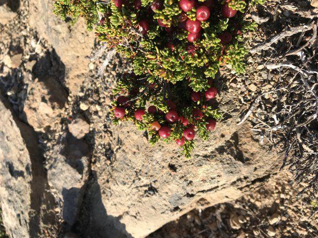 Murtillas, arbusto típico de la zona sudoeste de Argentina, sobre el cerro mocho nace esta rica fruta
