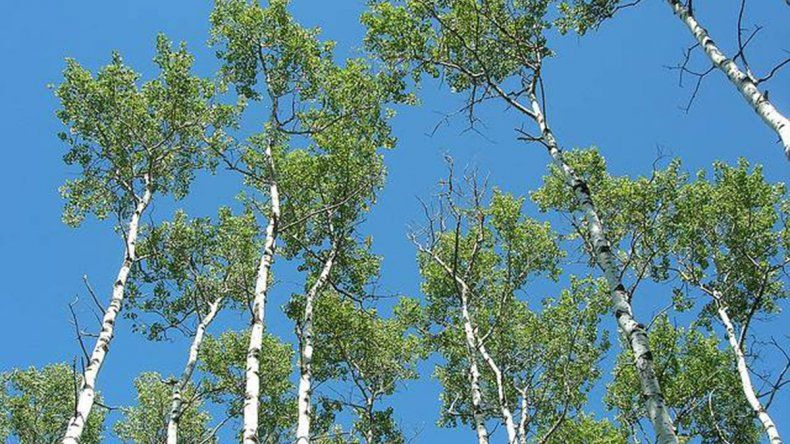 Los árboles son cada vez más flacos, jóvenes y pequeños