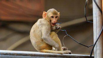 un grupo de monos robo muestras de pacientes con coronavirus