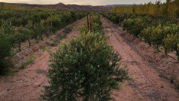 un proyecto de biodiversidad a partir de la oliva