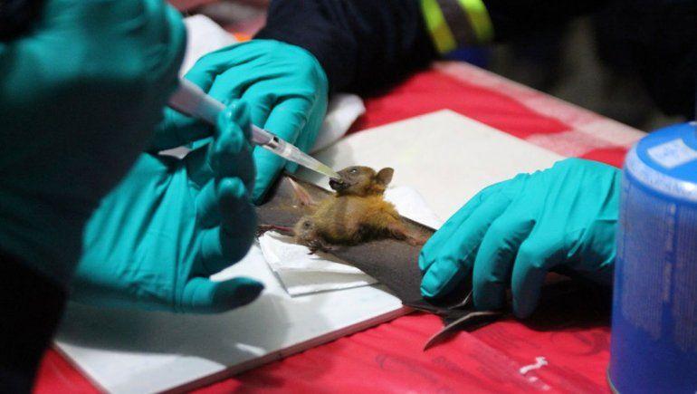 Cientos de coronavirus hallados en murciélagos
