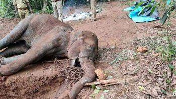 muere una elefanta por comer un anana lleno de petardos