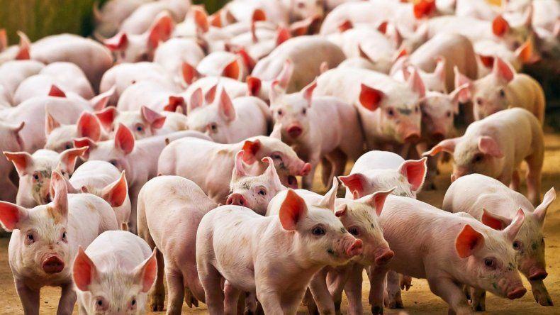 China: descubren virus en cerdos con potencial pandémico