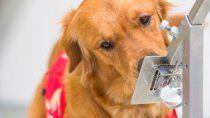 la uba entrenara perros para detectar coronavirus