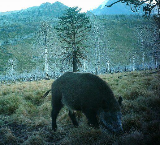Alarma en el Parque Nacional Lanín por invasión de jabalíes