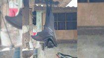 terror en las redes: conoce al murcielago diadema