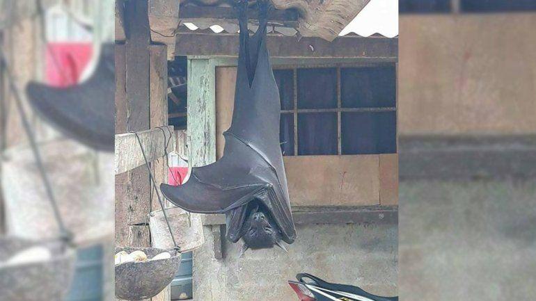 Terror en las redes: conocé al murciélago diadema